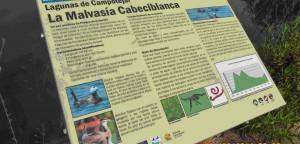 Panel didáctico sobre la avifauna de zonas húmedas, en especial de la Malvasía Cabeciblanca, habitante natural de esta charca